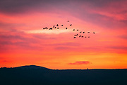 A flock of migrating birds silhouetted on a red sunset sky