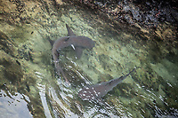 White Tipped Reef Shark