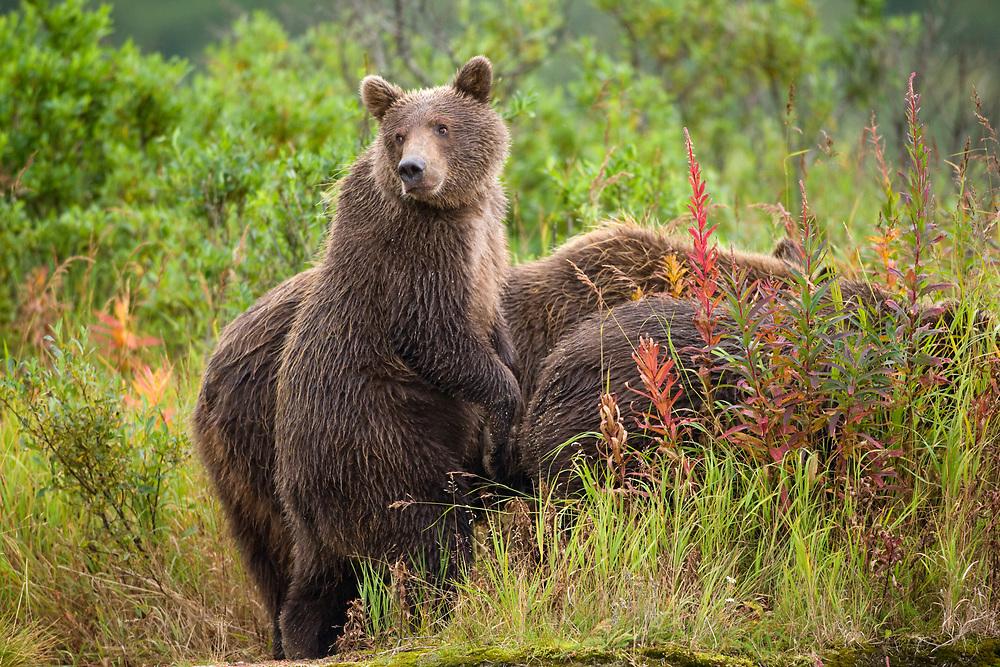 USA, Alaska, Katmai National Park, Kinak Bay, Brown Bear Cub (Ursus arctos) standing in tall grass beside mother and sibling on autumn day