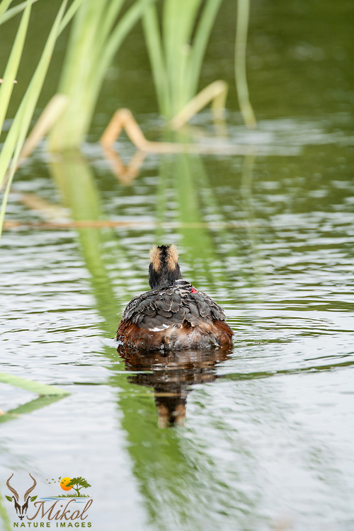 Horned Grebe with chick on back rear view vertical