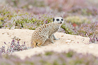 Suricate emerging from its burrow, Namaqua National Park, Northern Cape, South Africa,
