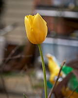 Yellow Tulip flower.  Image taken with a Leica CL camera and 60 mm f/2.8 lens (ISO 100, 60 mm, f/4.5, 1/1000 sec).