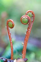 Wood Fern fiddlehead at Cascade Creek in Thomas Bay, Southeast Alaska.
