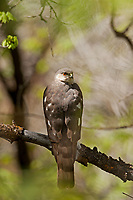 A Coopers Hawk deep in the scrub oak canopy perches on a branch after chasing songbirds into the thick brush.