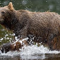 USA, Alaska, Brown (Grizzly) Bear (Ursus arctos) fishing for spawning salmon along Pavlof Harbor