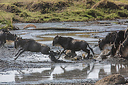 Wildebeest on the Serengeti Plains of East Africa