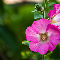 Hollyhock Flowers.  <br />