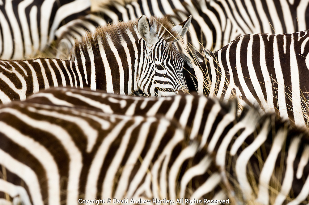 A Plains Zebra (Equus burchellii) raises its head amongst a grazing herd, Masai Mara National Reserve, Kenya.