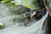 Ecuador, May 6 2010: A spider sits in its web. Copyright 2010 Peter Horrell