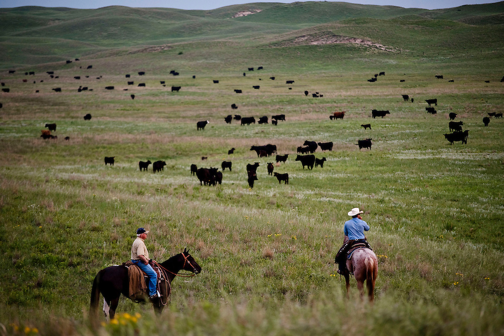 Before the branding can begin, ranchers must separate the calves from the rest of the cows. Riding on horseback, the men are able to drive the cattle to where they need to be and begin the process of branding on the Higgins family ranch Wednesday, June 17. Photo by Lauren Justice