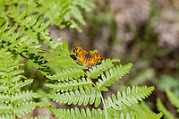 Phyciodes mylitta (Mylitta Crescent) ♂ at Siberia Creek, San Bernardino Co, CA, USA, on Bracken fern 17-Jul-16