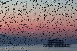 © Hugo Michiels Photography. Brighton, UK. Thousands of Starlings take to the sky above Brighton. Every evening between October and March huge murmurations can be seen before the birds are settling in for the night. Photo Credit: Hugo Michiels