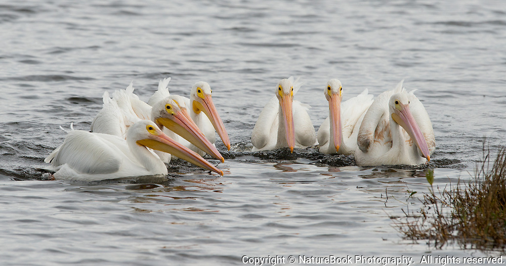 A group of American White Pelicans gather together to fish at Merritt Island National Wildlife Refuge near the Kennedy Space Center in Florida.  Moments after this image was made, all of the pelicans thrust their bills into the water to scoop up fish.