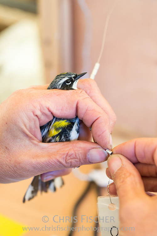 Yellow-rumped Warbler being banded for identification on Stratton Island, Maine.  A correctly sized, serially numbered band is removed from the band string. These bands are issued to licensed bird banders by the Bird Banding Laboratory of the USGS.