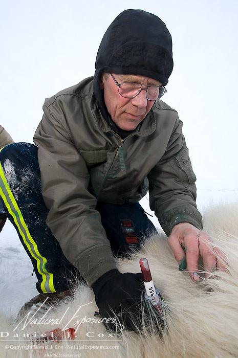 Dr Amstrup takes blood samples from a captured polar bear, Beaufort Sea, Alaska