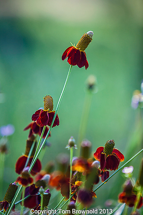 Ratibida columnifera, Mexican Hat, Yellow cornflower