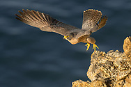The morning light lights up this female peregrine falcon while she took off for a hunt. The Pacific Ocean gives that beautiful blue background.