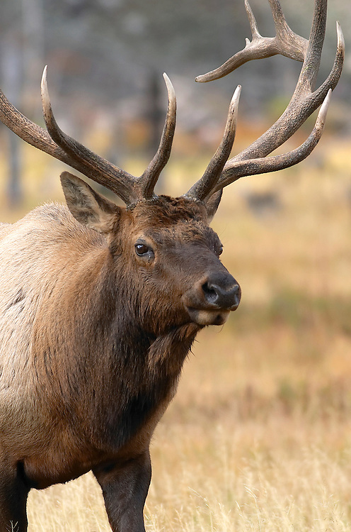 Elk<br />