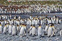 King penguin, Aptenodytes patagonicus rookery at Salisbury Plain on South Georgia Island.