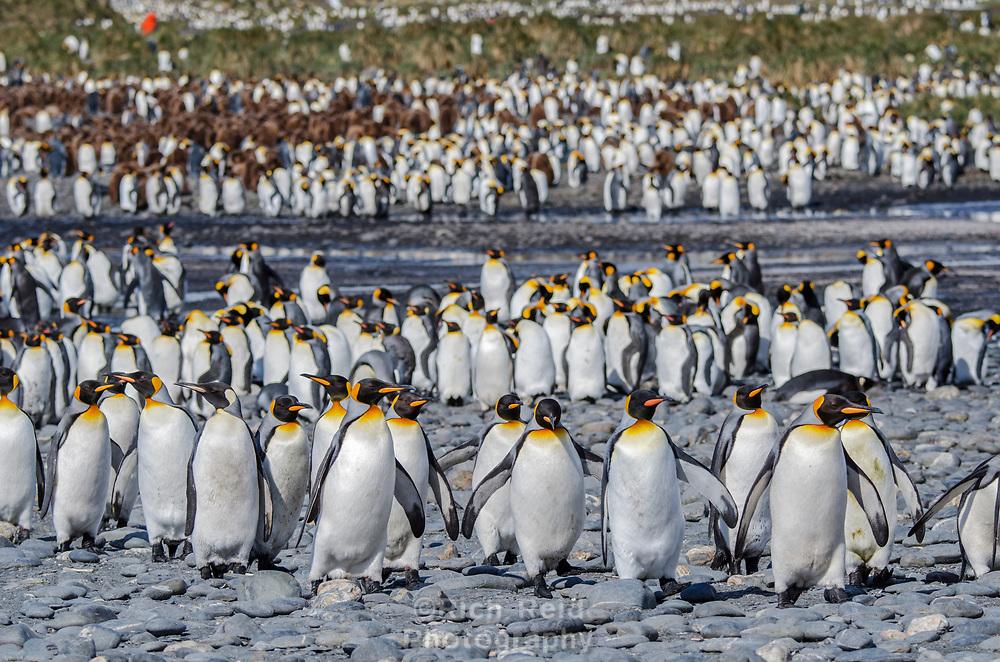King penguin, Aptenodytes patagonicus rookery at Salisbury Plain on South Georgia Island.