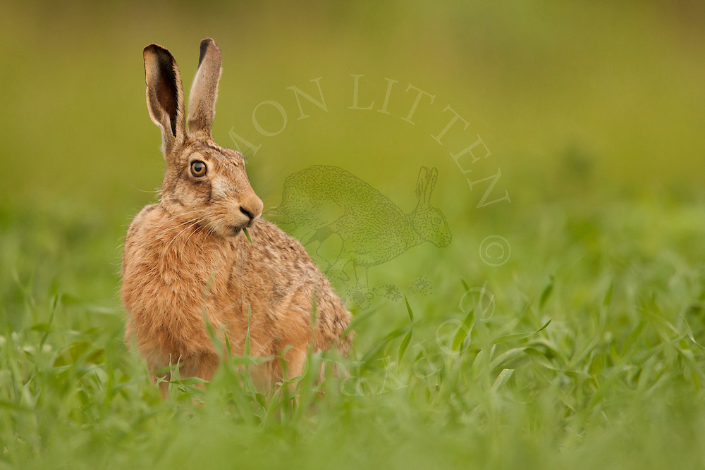 European Hare (Lepus europaeus) adult, feeding on crop planted for bird cover, Norfolk, UK.