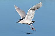Black-crowned Night Heron - Nycticorax nycticorax