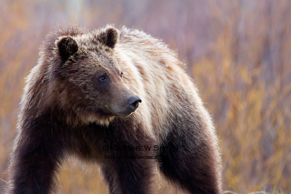 A Grizzly Bear in Grand Teton National Park