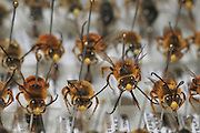 Israeli Wild Bee collection of different species - bees collected in Israel