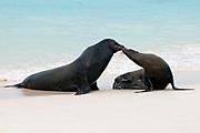 Kissing Sea Lions ( Zalophus wollebaek) at Gardiner Bay, Espanola, Galapagos.