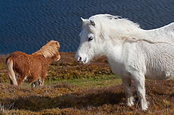 © Licensed to London News Pictures. 07/03/2014. Mynydd Epynt, Powys, UK. Welsh ponies are seen on high moorland under clear blue skies and cold blustery winds in Mid Wales. Photo credit : Graham M. Lawrence/LNP