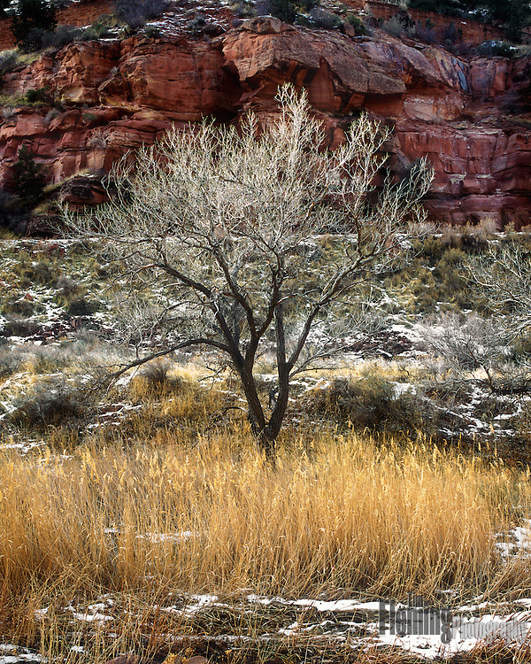 A cottonwood tree in winter, Zion National Park, Utah
