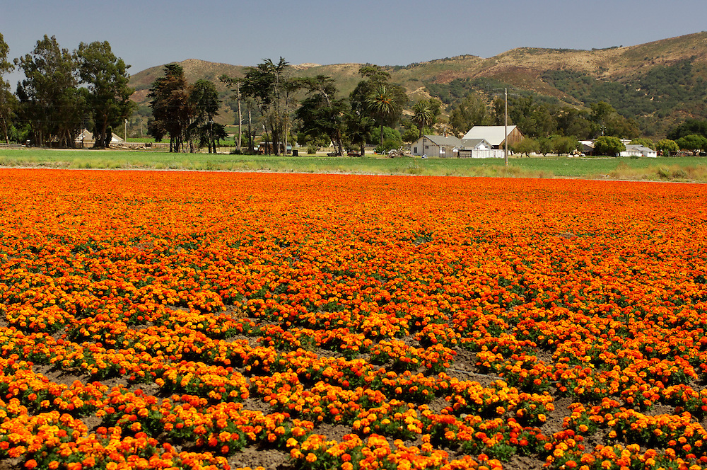 Flower fields near Lompoc, California, United States of America