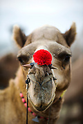 Pushkar Horse and  Camel Fair, Pushkar , Rajasthan,  India, 20/11/2012. A camel with a red nose decoration at the Pushkar Horse and  Camel Fair, Pushkar , Rajasthan,  India on the 20th November 2012<br /> <br /> Pushkar Mela , one of Asia's (if not the world's) largest camel fairs occurs annually during the Hindu month of Kartik (October-November) in the small desert town of Pushkar in Rajasthan, India. Semi-nomadic tribal people with hordes of cattle, camels and horses materialise out of the desert and descend upon the town setting up a vast camp on the outskirts. It runs concurrently with the festival of Kartik Poornima which honours the God Brahma. Its celebrated with particular fervor in Pushkar because it hosts one of the very few Brahma temples in India and culminates with thousands of devout Hindus taking a ritual bath in the sacred Pushkar Lake. Its this melange of pilgrims, musicians, magicians, acrobats, folk dancers, traders, comedians, 'sadhus' and tribals that creates a uniquely colourful spectacle transforming the usually sleepy town into an astonishing cultural phenomenon. <br /> <br /> PHOTOGRAPH BY AND COPYRIGHT OF SIMON DE TREY-WHITE<br /> <br /> + 91 98103 99809<br /> + 91 11 435 06980<br /> +44 07966 405896<br /> +44 1963 220 745<br /> email: simon@simondetreywhite.com photographer in delhi