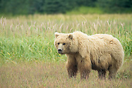 Grizzly Bear Sow Standing in Meadow, Lake Clark National Park, Alaska