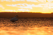Whooper swan resting serenely at sunset on the ocean in autumn in Hokkaido, Japan.