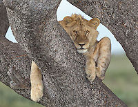 Young male lion (Panthera leo) in a tree