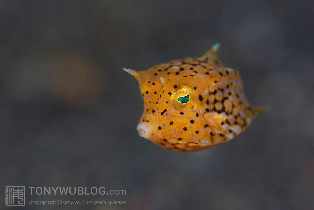Colourful, cute baby longnose cowfish are always popular subjects for photography