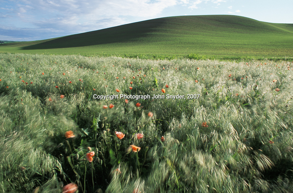 Early summer view of wind-blown poppies in the Palouse region of Eastern Washington and Northern Idaho. The Palouse is one of the most productive dry-farming regions in the world, boasting bountiful harvests of wheat, peas, and lentils.