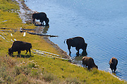 Wyoming, Yellowstone National Park. Bison drink from a small roadside lake in Yellowstone National Park, Wyoming, USA . PLEASE CONTACT US FOR DIGITAL DOWNLOAD AND PRICING.