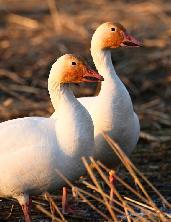 Alaska. Snow Geese (Chen caerulescens) feeding in a Matanuska Valley barley field during spring migration.