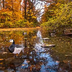Ganso-de-faces-brancas (Branta leucopsis) no Parque de animais Lindenthaler (Colônia) fotografado em Colônia, na Alemanha. Registro feito em 2009.<br /> ⠀<br /> <br /> <br /> ENGLISH: Barnacle Goose in the Lindenthal Animal Park - Germany photographed Cologne, Germany. Picture made in 2009.
