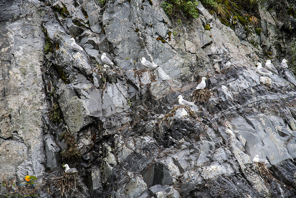 Black-legged Kittiwakes on nest