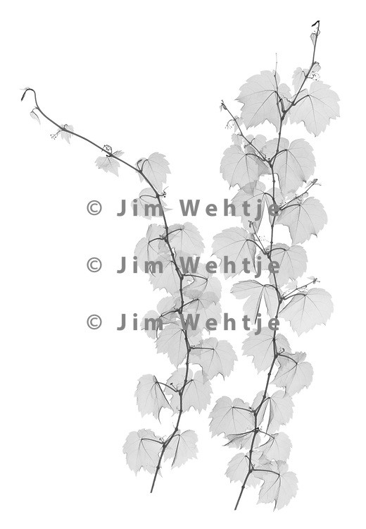 X-ray image of Boston ivy strands (Parthenocissus tricuspidata, black on white) by Jim Wehtje, specialist in x-ray art and design images.