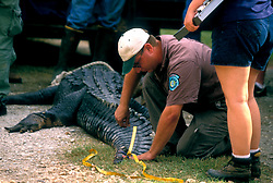 Stock photo of a ranger measuring the tail of an alligator at the Texas Gatorfest in Anhuac.