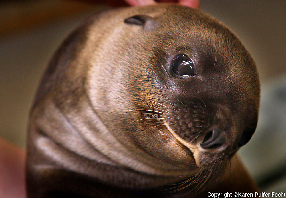 """July 25, 2012 -  Teva, a """"very sweet and playful"""" Sea Lion pup was born June 27th to the Memphis Zoo. It has been many years since they have had a successful Sea Lion birth, Teva was conceived naturally.  (Karen Pulfer Focht/The Commercial Appeal)"""