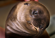 "July 25, 2012 -  Teva, a ""very sweet and playful"" Sea Lion pup was born June 27th to the Memphis Zoo. It has been many years since they have had a successful Sea Lion birth, Teva was conceived naturally.  (Karen Pulfer Focht/The Commercial Appeal)"