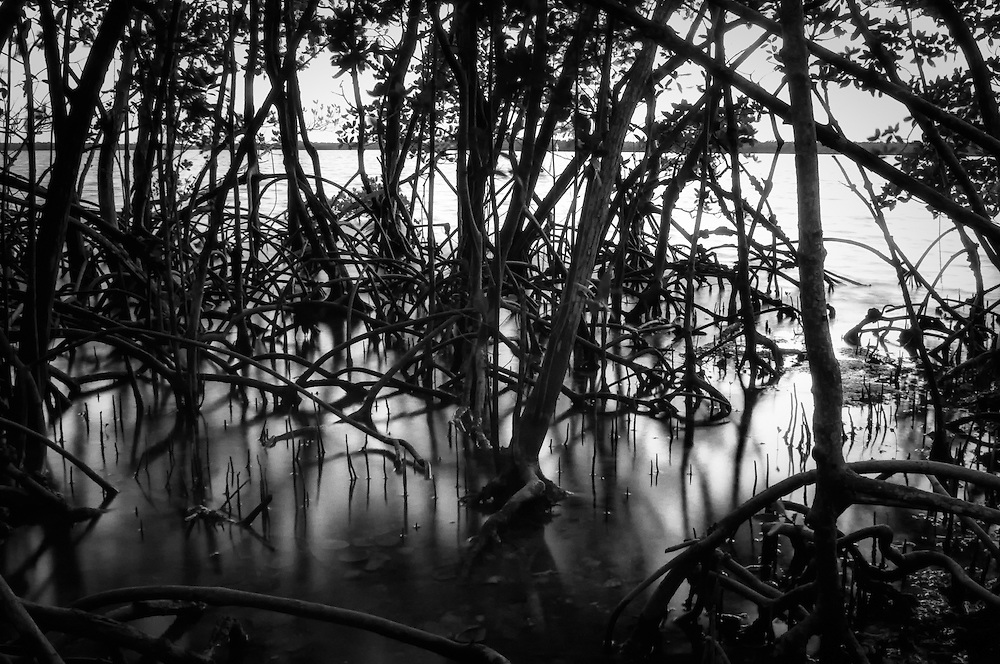 Mangrove roots at dusk in Chokoluskee, Florida with the Ten Thousand Islands just beyond.