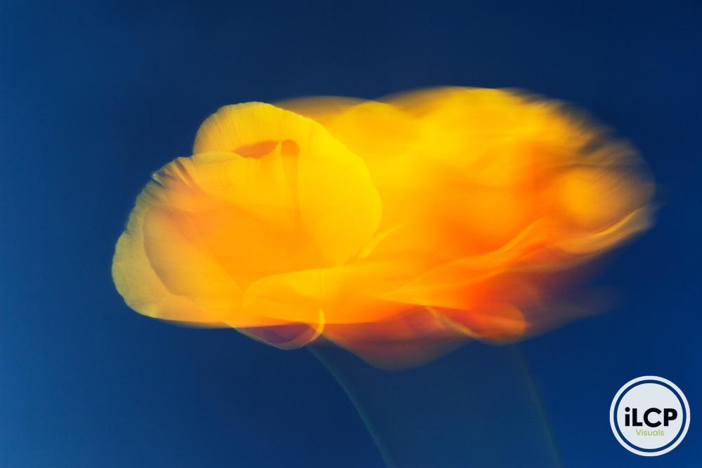 California Poppy (Eschscholzia californica) flower blowing in the wind, Wilder Ranch State Park, Santa Cruz, Monterey Bay, California