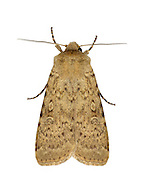 73.339 (2105)<br /> Dotted Rustic - Rhyacia simulans