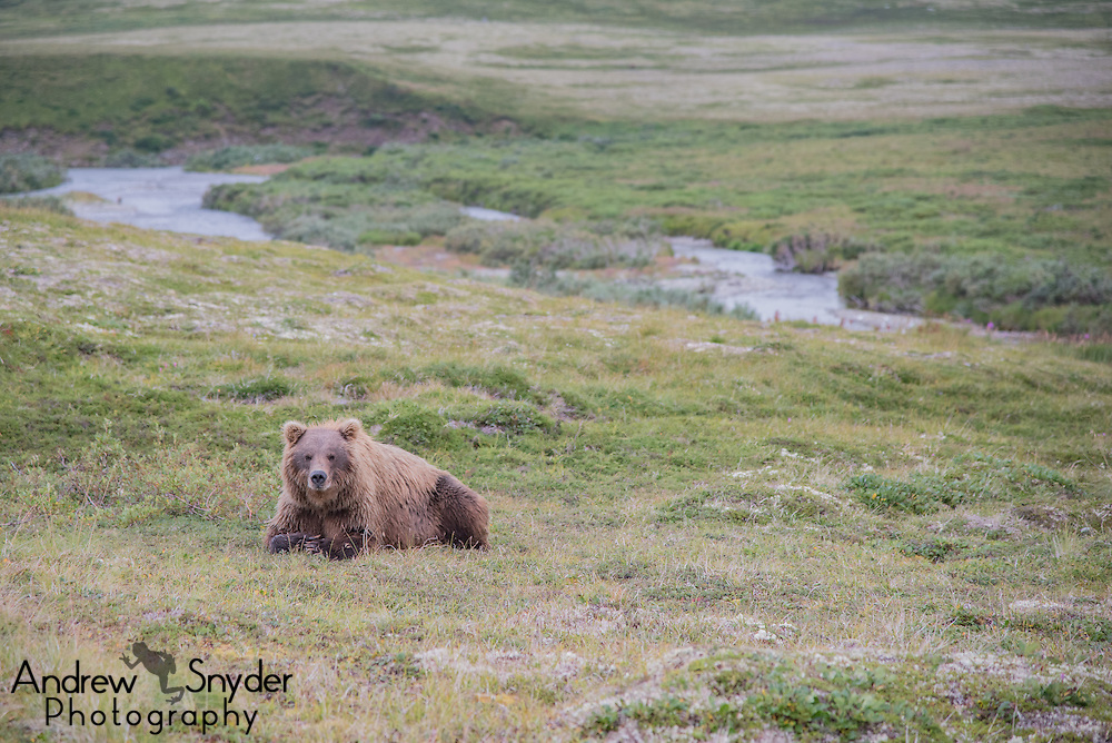 A brown bear feasts on blueberries - Katmai, Alaska
